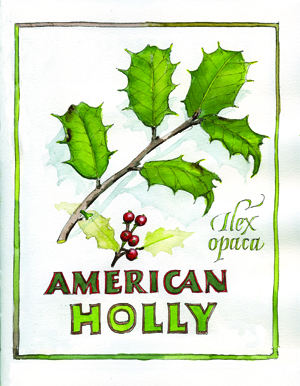 Illustration American Holly