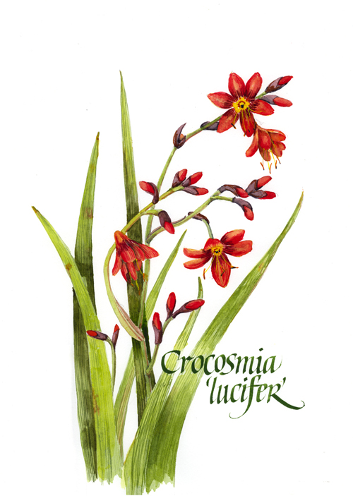 Illustration Crocosmia