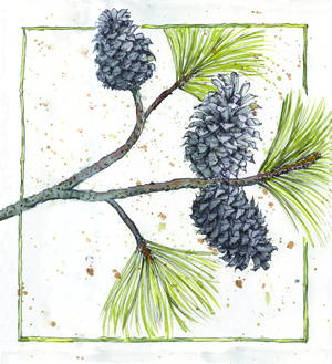 Illustration Loblolly Pine journal
