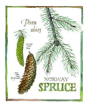 Illustration Norway Spruce journal